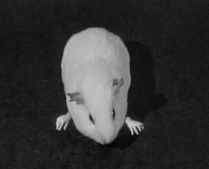 rat with human hands